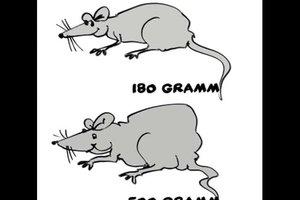 Den Unterschied zwischen Maus und Ratte kindgerecht erklären