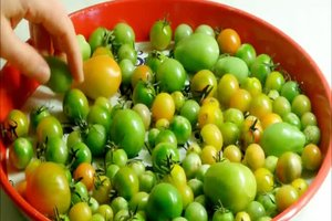 Grüne Tomaten reifen lassen - so klappt's