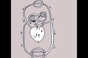 Den Blutkreislauf einfach erklärt - so geht es
