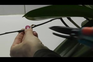 Orchideen zurückschneiden - so geht's richtig