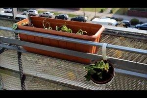 Erdbeeren im Topf auf dem Balkon pflanzen
