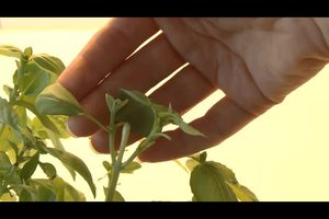 Basilikum anpflanzen - so geht's