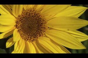 Anleitung - Sonnenblumen pflanzen