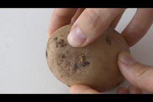 Kartoffelkeime - so verarbeiten Sie Kartoffeln mit Keimen