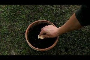 Anleitung - Ingwer pflanzen
