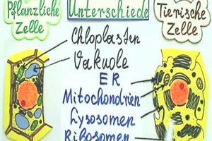 Unterschiede: tierische und pflanzliche Zelle verständlich erklärt