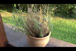 Lavendeltee - so gelingt die Zubereitung