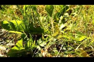 Löwenzahn bekämpfen - so werden Sie das Unkraut im Garten los