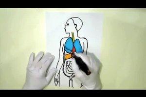 Organe im Schaubild zeichnen - so malen Sie den menschlichen Körper von innen