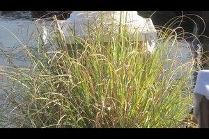 Zebragras im Garten anpflanzen - so gelingt's