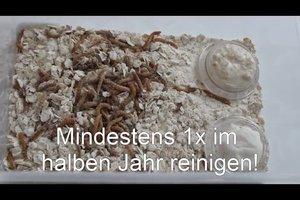 Mehlwürmer züchten - Anleitung