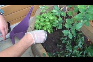 Basilikum pflanzen - Anleitung